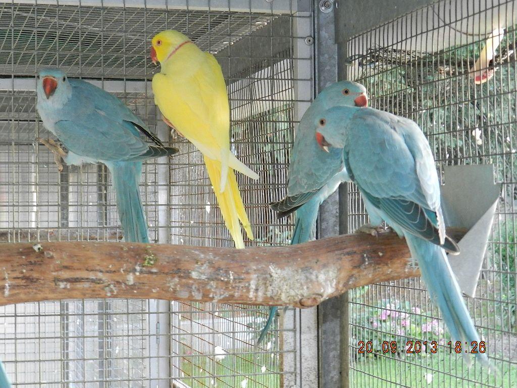 mâles bleus porteurs ino (père lutino)
