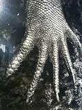 Image de l'exposition Genesis. La main gantée (?) d'un Warant de Komodo