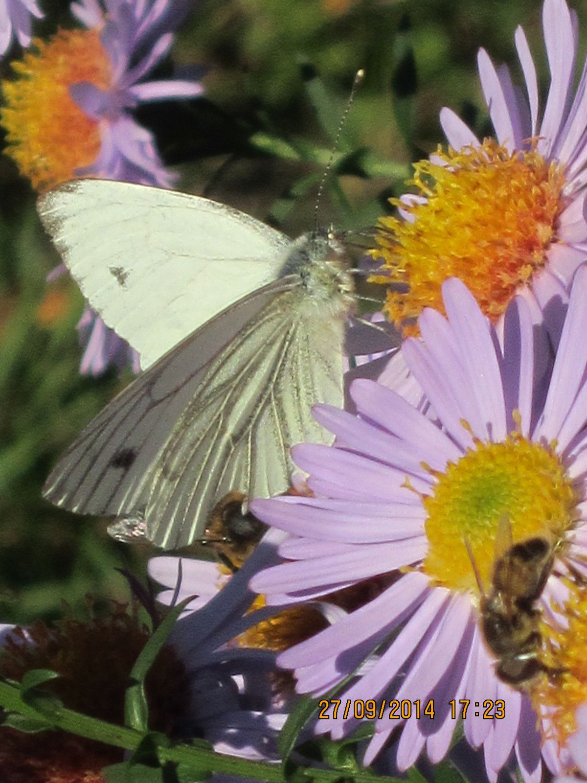 Asters et papillon 1