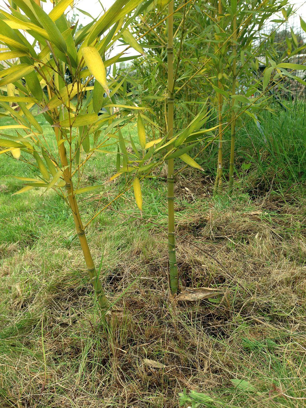 De l'herbe coupée en grande quantité est placée sous les bambous pour accueuillir les pieds de tomates dans un mois environ.