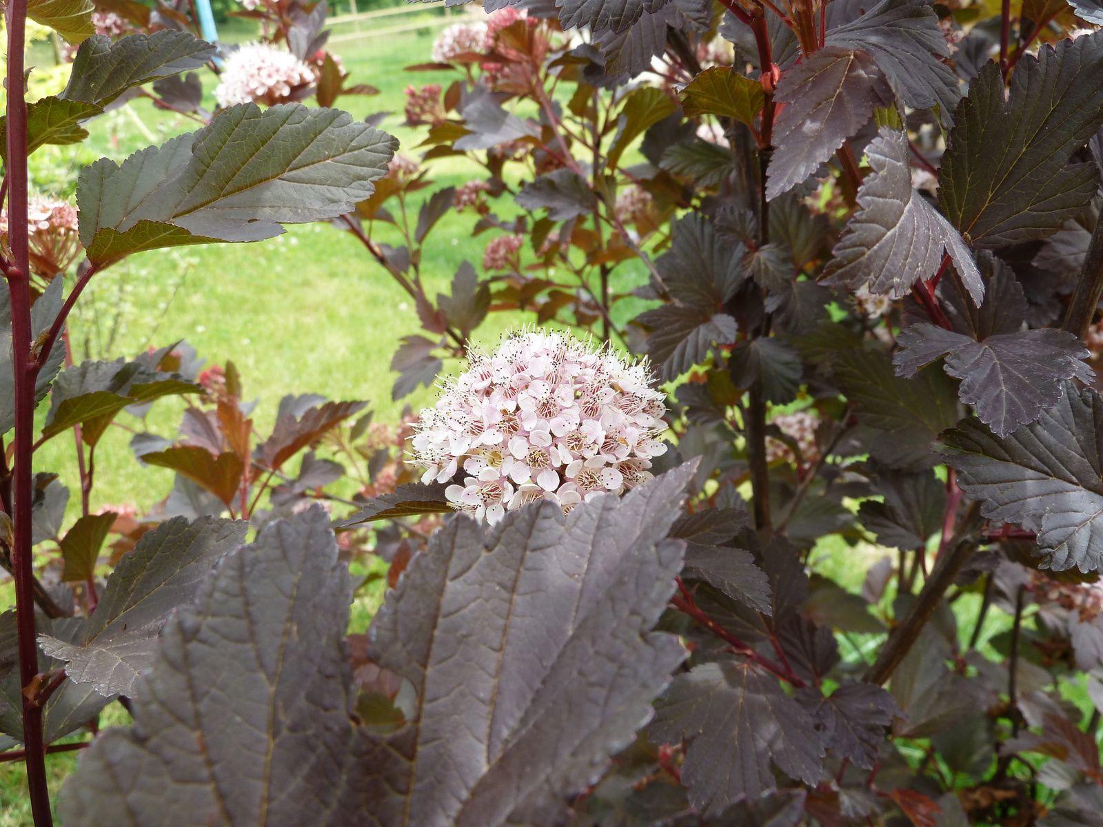 physocarpus planté en limite de propriété