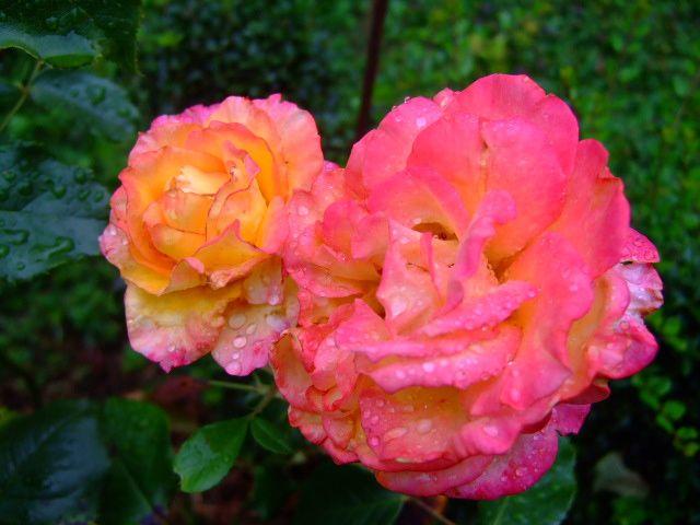 Bonjour les gens, ce matin à 5h : 19° Avec une bruine, un crachin qui tombe gentiment sur notre région.. Il y a comme un air d'automne qui se pointe à l'horizon.... Bonne journée à tous et à toutes avec le sourire..... 2 roses perlées de bruine....