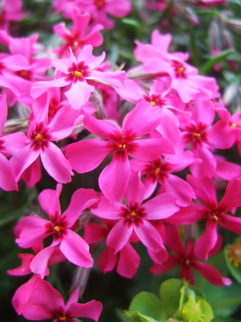 phlox subulata rose. .....