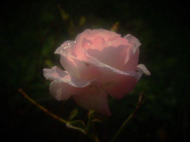 Un article sur les roses de mon jardin !!