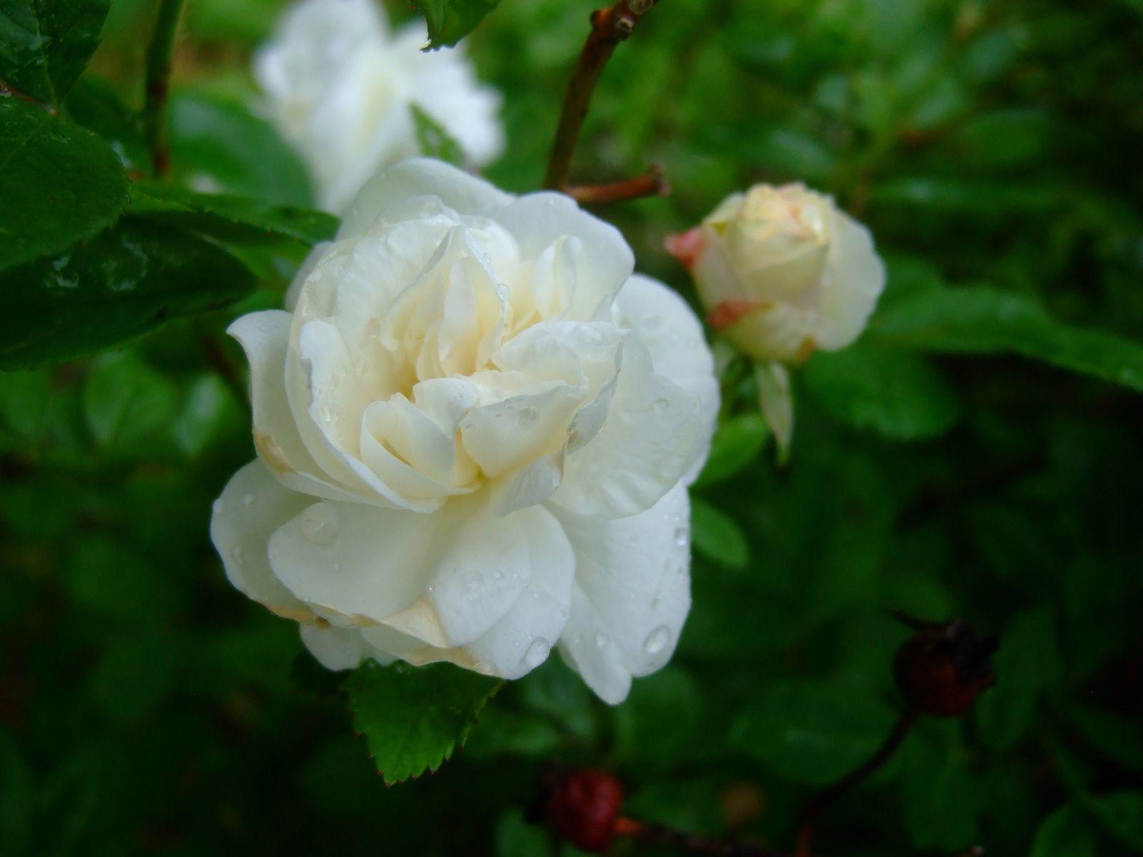 """rosier """" neige d'avril """"  grimpant ! ( je vous posterais une photo lorsqu'il sera tout en fleurs )"""