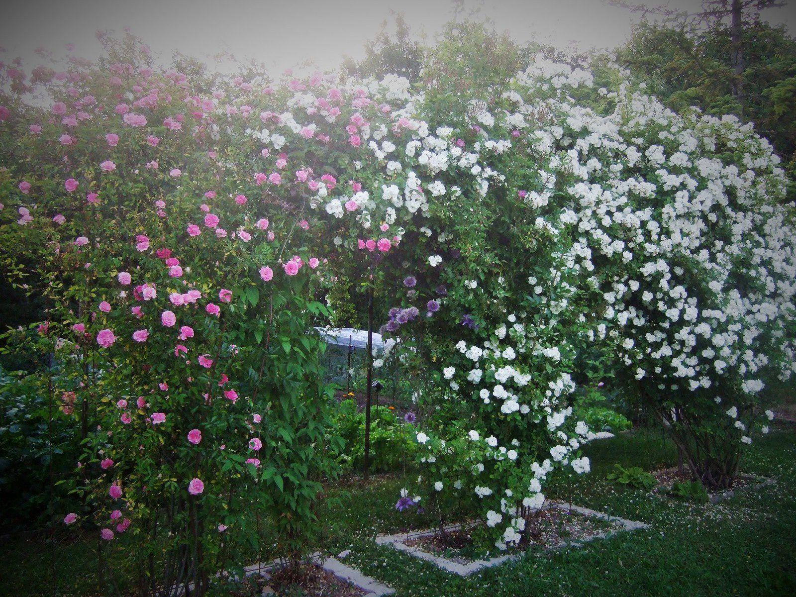 Les rosiers grimpants du jardin ....