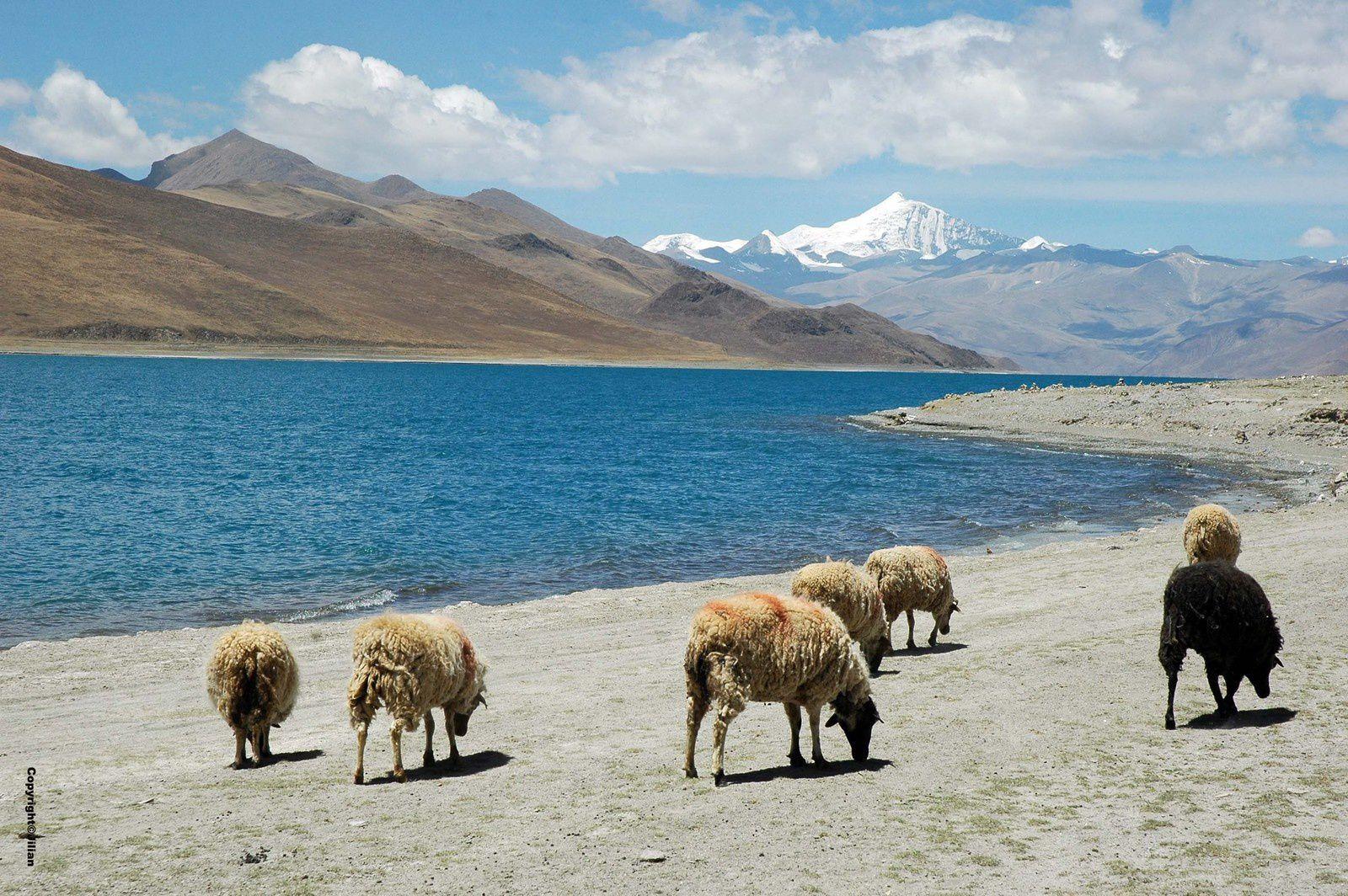 Tibet (7 et fin) : hommage au yack - 西藏 (第七章和结束)  :向牦牛表示敬意