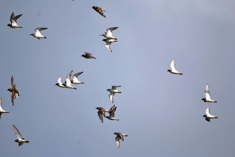 Groupe mixte de Bécasseaux Cocorlis (2 oiseaux, becs fins et courbes, en haut-centre et en haut-gauche) et de Pluviers Grand-gravelots - Marais d'Assouinde, Côte d'Ivoire, janvier 2014