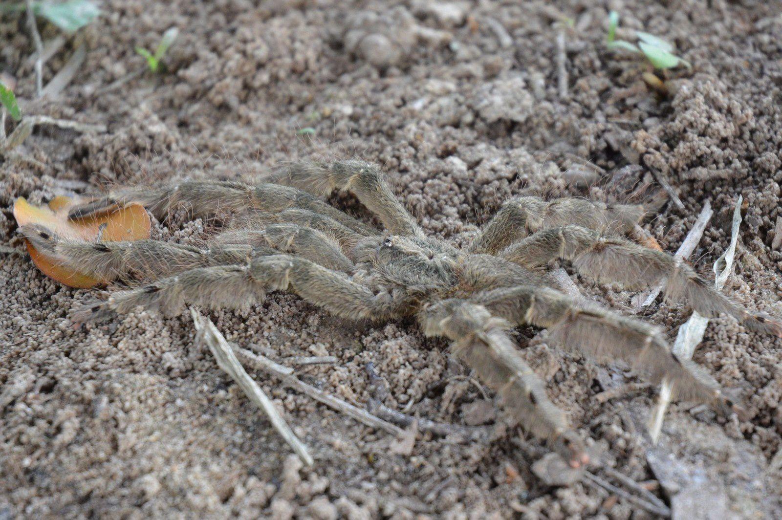 Araignée ivoirienne du style Mygale. Bien que velue, l'araignée se décline au féminin&#x3B; c'est donc sans doute aussi sa fête