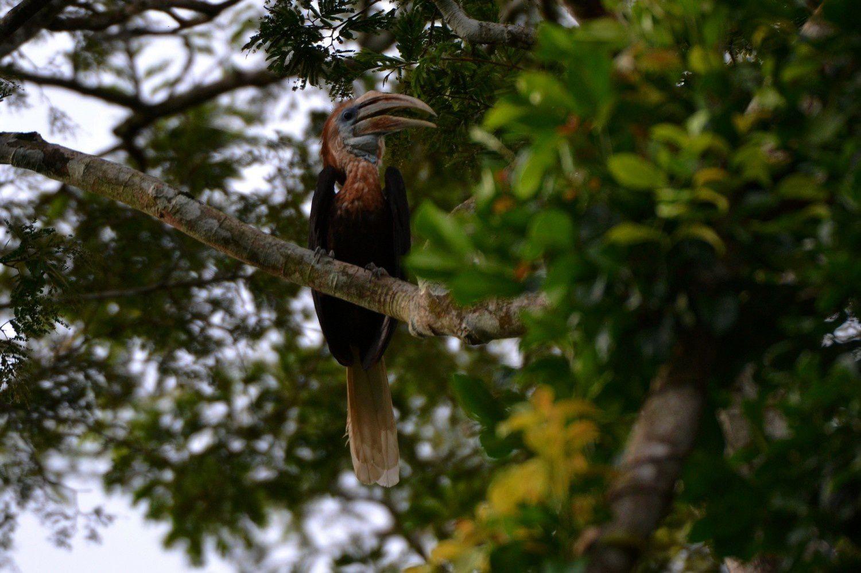 Calao à Casque Jaune femelle - Forêt de Tai, Côte d'Ivoire, 7 juin 2014