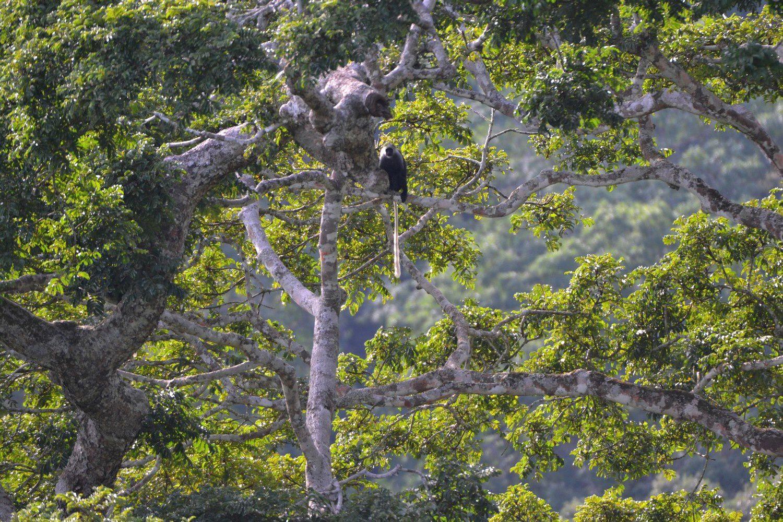 La canopée de la forêt de Tai, vue du Mont Niénoukoué, un singe Magistrat scrutant l'homme blanc - 9 juin 2014