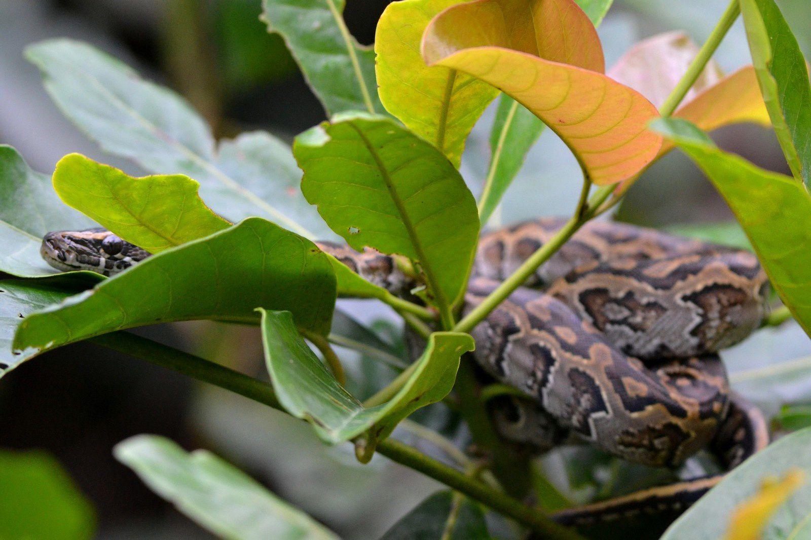 (petit) Python - Rivière Hana, Forêt de Tai, Côte d'Ivoire, 10 juin 2014