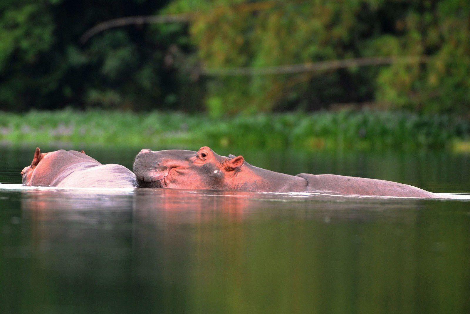 Enfin les Hippos !