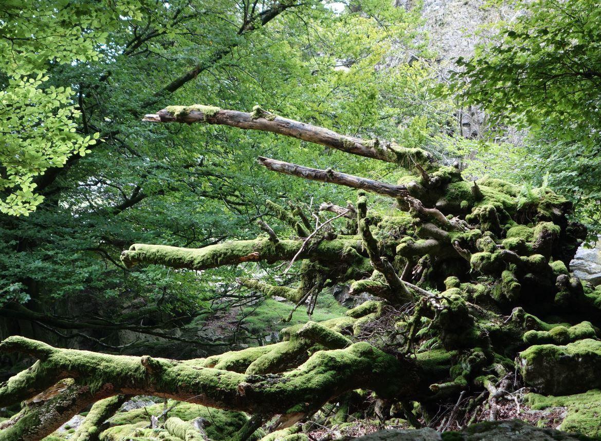 Un certain nombre de ses arbres ont été déracinés par les vents violents pouvant sévir dans cette région.