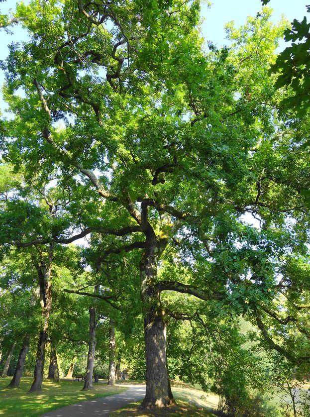 Cheminant par moment entre de magnifiques chênes pédonculés non classés. Quelques dizaines de mètres plus loin, vous serez à votre point de départ. Merci à Vous. Droits réservés.