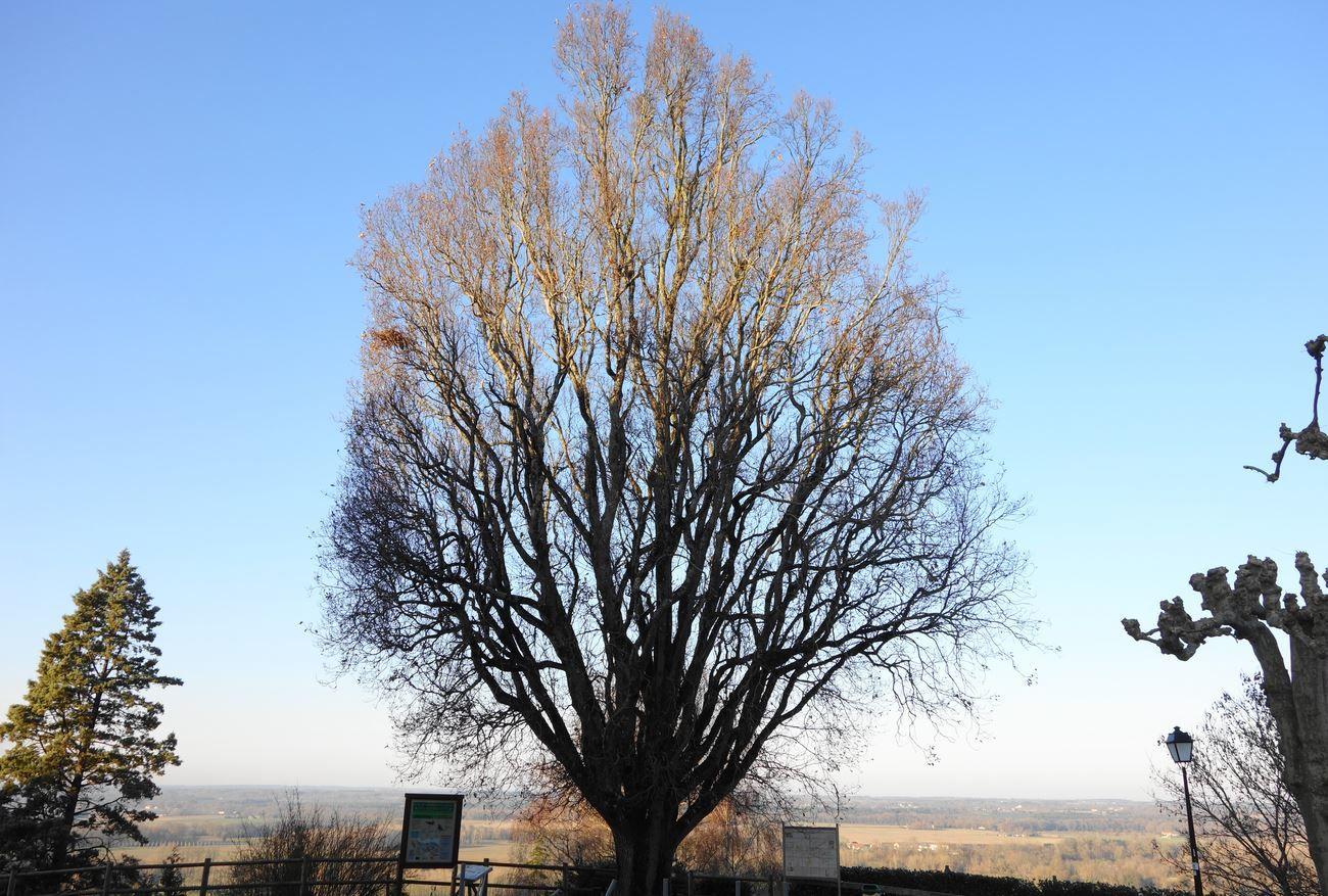 Suite à un décret de 1794, des arbres de liberté furent plantés au sortir de la révolution Française, dans un très grand nombre de communes Françaises. En symbolisant aussi bien le succès de la révolution de 1789, mais aussi la vie et la continuité. Cette particularité fut sûrement empruntée aux Etats Unis au sortir de la guerre d'indépendance. Si diverses essences d'arbres furent planté dans les villes et villages ( bien souvent au centre et à proximité de l'église ), c'est bien souvent le peuplier qui fut choisit, à travers son étymologie, signifiant en latin aussi bien le peuple, que le peuplier. Ces arbres de la liberté furent très souvent utilisés en symbole de la république ( à l'instar de la semeuse ... ), et, sont encore utilisés sur les pièces Française d'un ou deux euros. Malheureusement, de très nombreux arbres de la liberté furent coupés, au fil des siècles, pour diverses raisons.