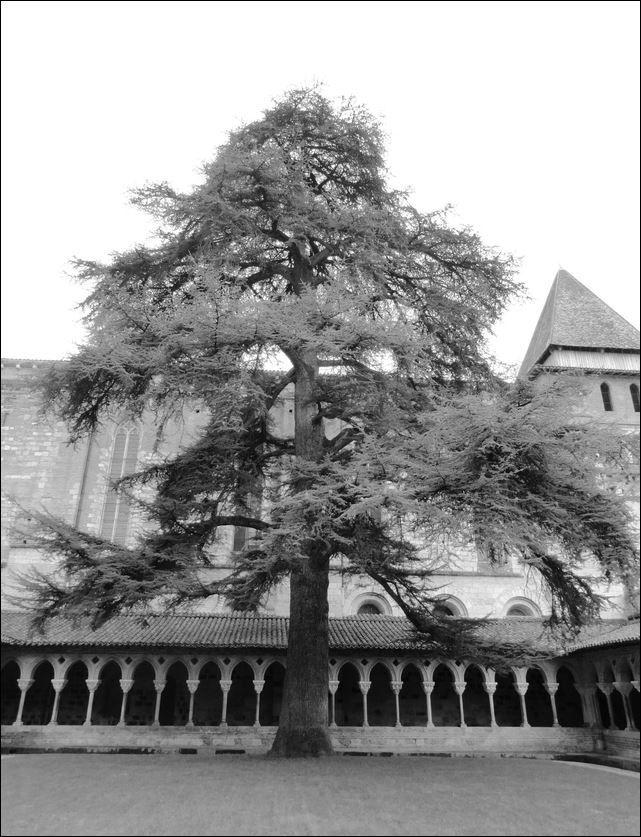 Cèdre du Liban , Cloître abbaye Saint-Pierre , Moissac ( Tarn-et-Garonne 82 ) AA