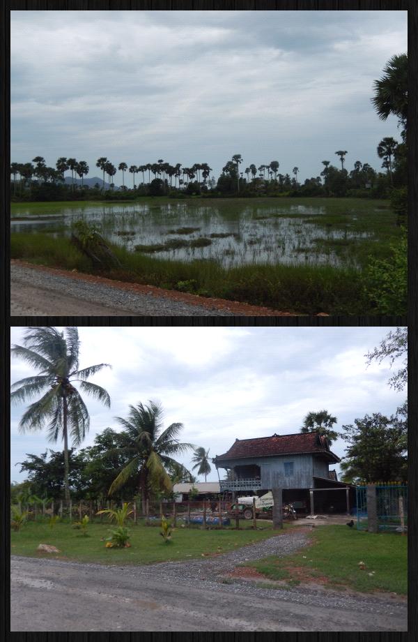 des rizières bordent la route. Vert foncé, vert clair... et des maisons surrélevées en bois. des animaux à droite, à gauche.