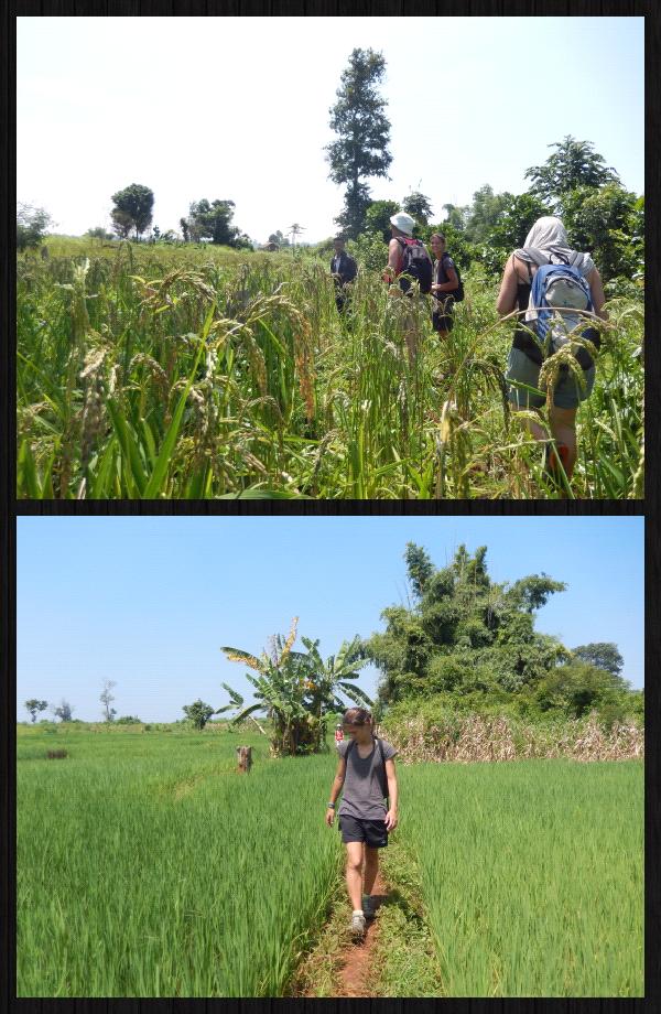 et à travers des champs de rizières.