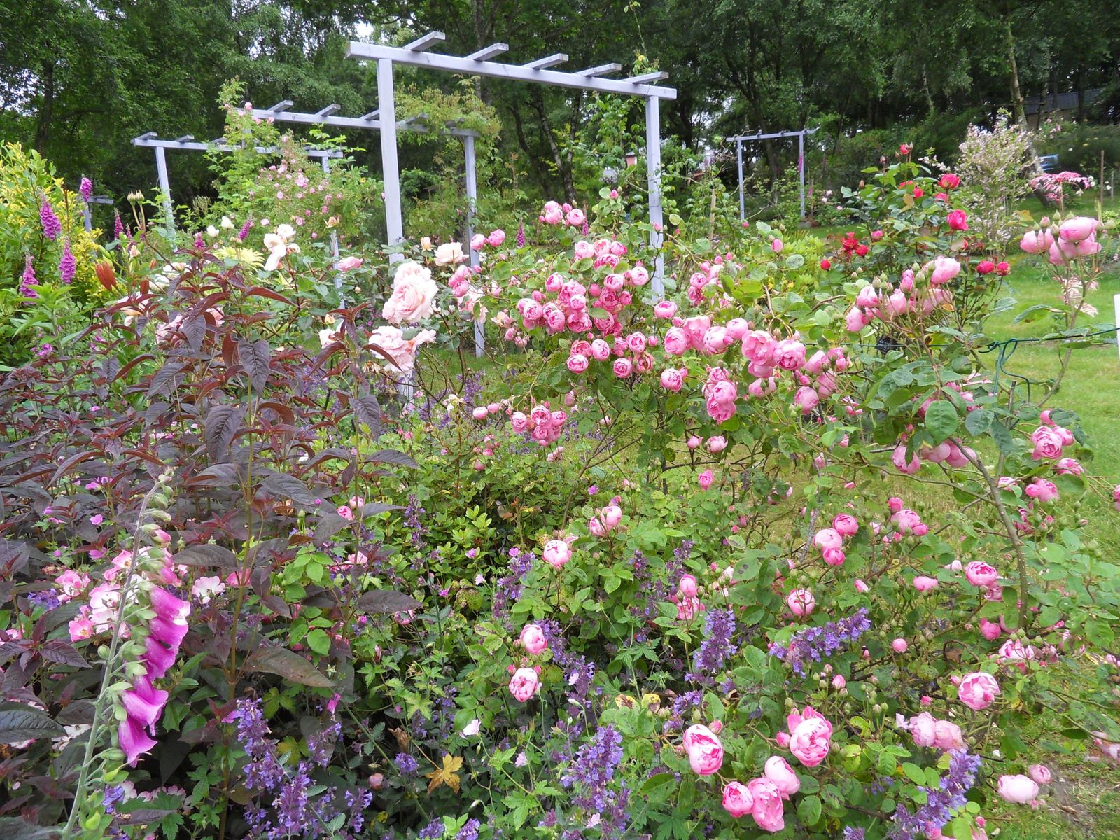 quelques photos de ce 2 juillet , les roses s'épanouissent , ici Raubritter .....