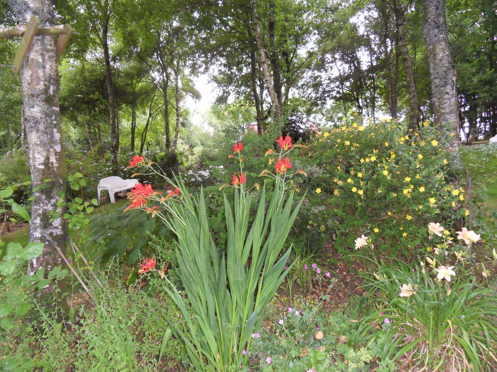 les croscomias lucifer sont en fleurs en ce moment , début de floraison....ils sont dans la partie bois dans plusieurs endroits ...