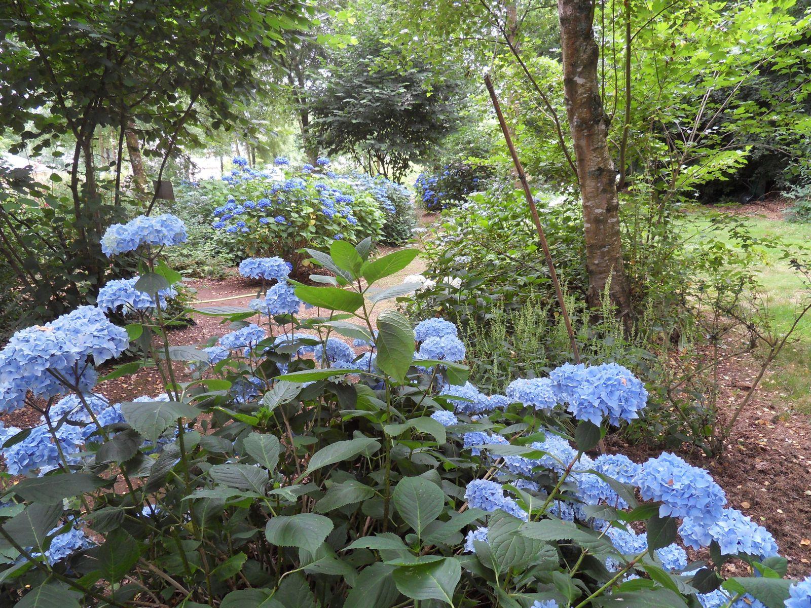 la grande allée qui remonte le bois est bordée de plus de 80 hydrangéas, plusieurs variétés , du blanc aux différents bleus ....lys et vivaces de saison les accompagnent , de nombreuses azalées sont également  plantées sur cette partie  pour les floraisons printanières.