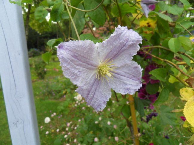 C. 'MRS CHOLMONDELEY' : Grimpante à grandes fleurs précoces, simples, de 15-18 cm de diamètre, bleu lavande clair, à sépales très espacés et anthère chocolat clair.