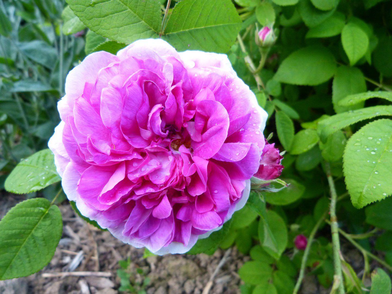 Jenny Duval : Sur le fond presque gris de son feuillage, Jenny Duval fait éclater la beauté troublante dont la nature l'a dotée. Tempête sereine de rouge cerise, de mauve et de violet, ses fascinantes roses doubles jouent la surprise et le charme.