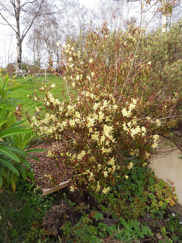 rhododendron lutescens , floraison vers la fin février début mars , j'attends avec impatience sa floraison tous les ans en fin fin d'hiver ...