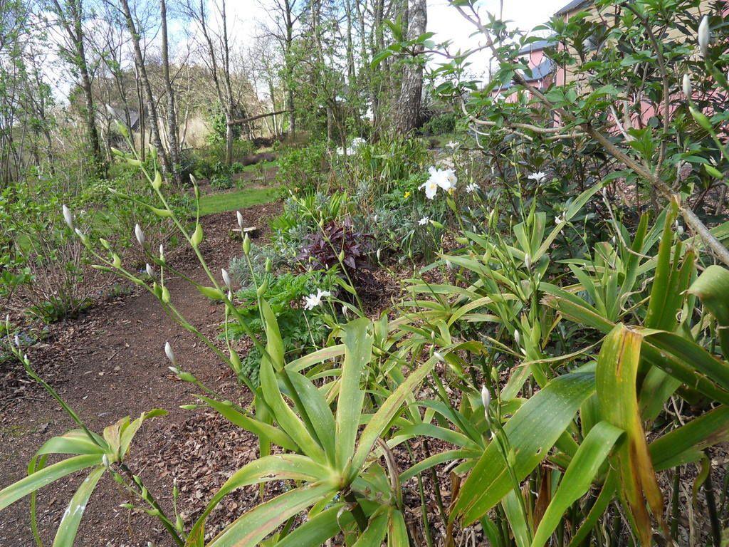 """Lithodora  """"heavenly blue"""", diverses euphorbes, iris confusa ,géraniums vivaces apportent déjà quelques couleurs"""