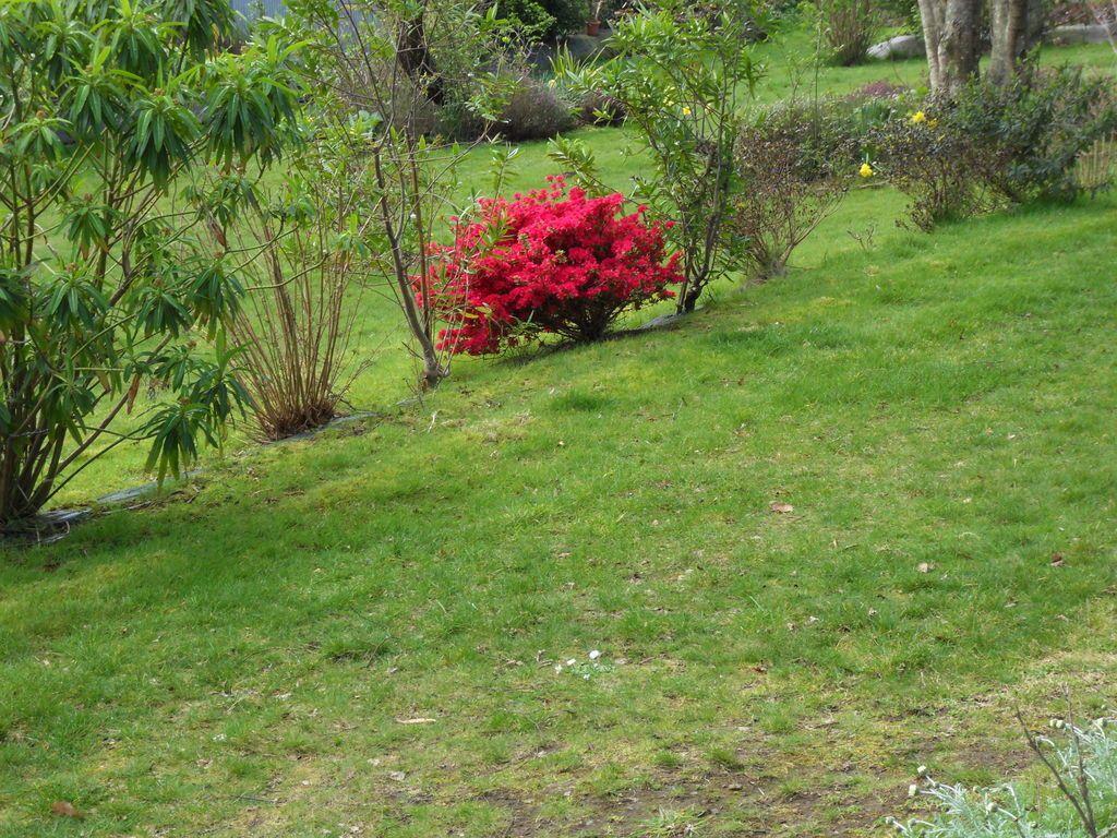 les premières azalées japonaises sont au rendez vous , d'autres variétés vont fleurir très vite si le soleil se montre présent ....