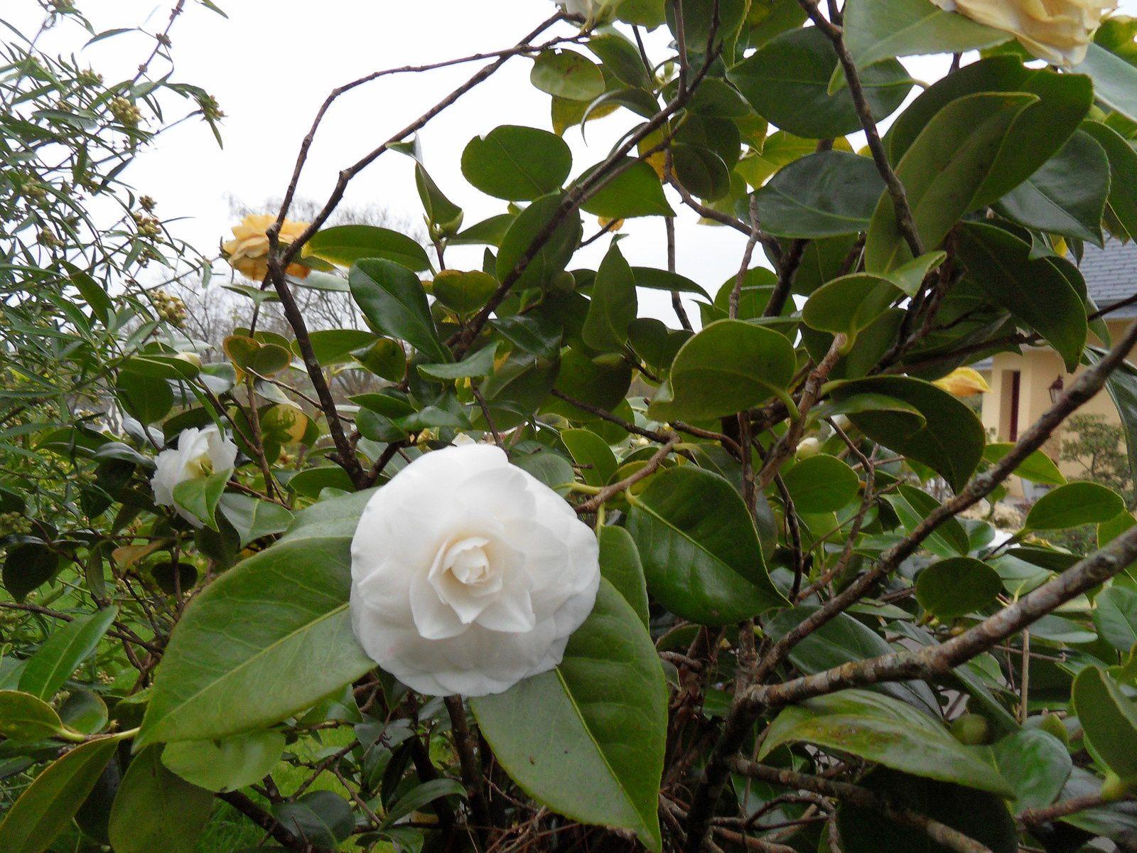 camélia japonica Nuccio's gem