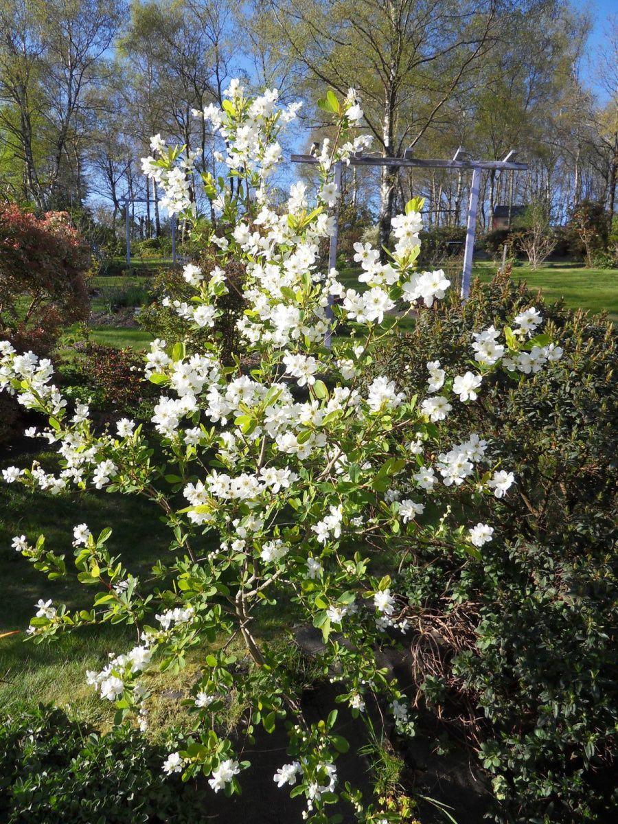 l'exochorda et ses sublimes fleurs blanches