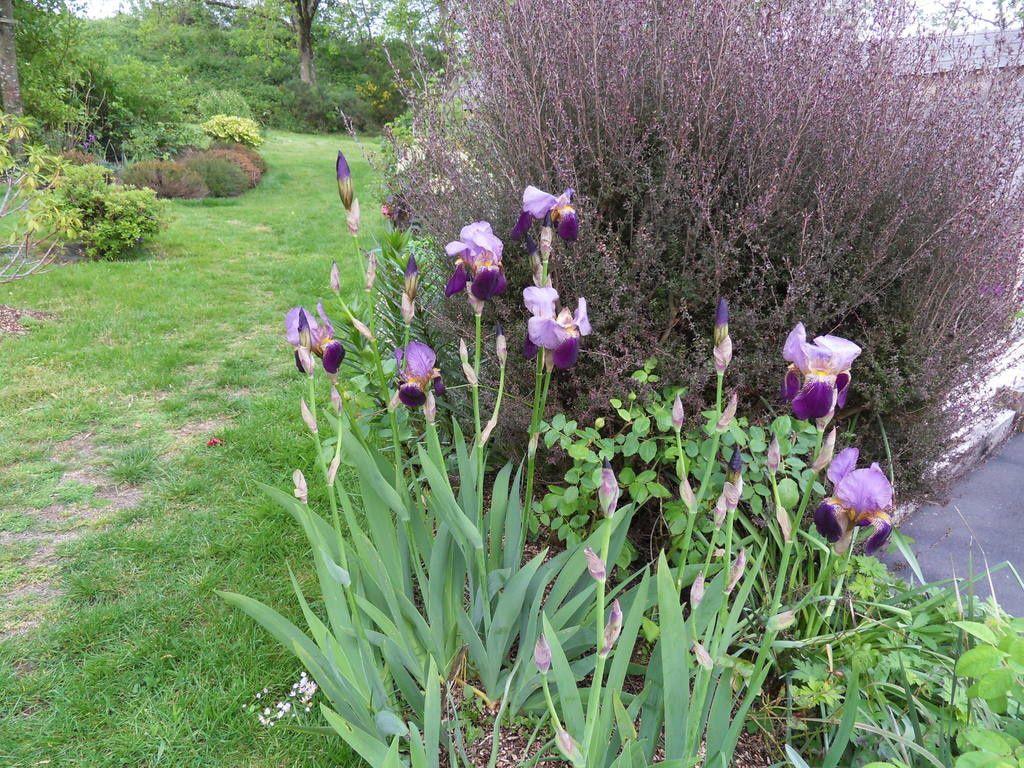 hier soir petit tour de jardin pour immortaliser quelques plantes , la pluie étant annoncée pour cette nuit et j'ai bien peur qu'au réveil beaucoup de pétales seront au sol !!!!