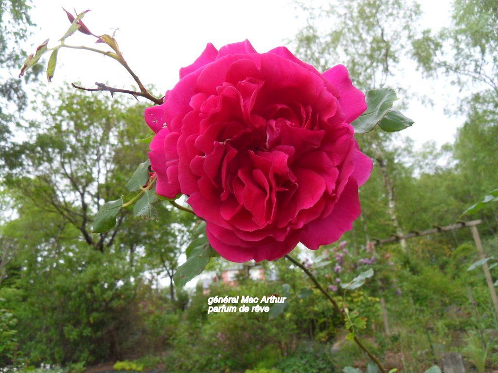 la rose du jour !!!