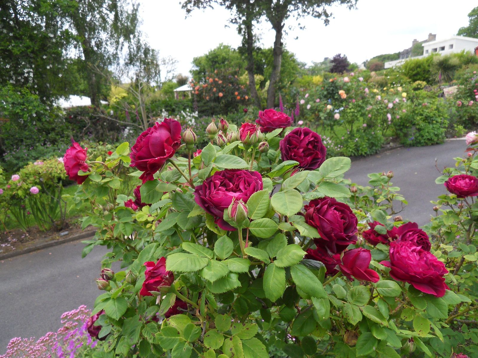 best parterre de roses photos ideas