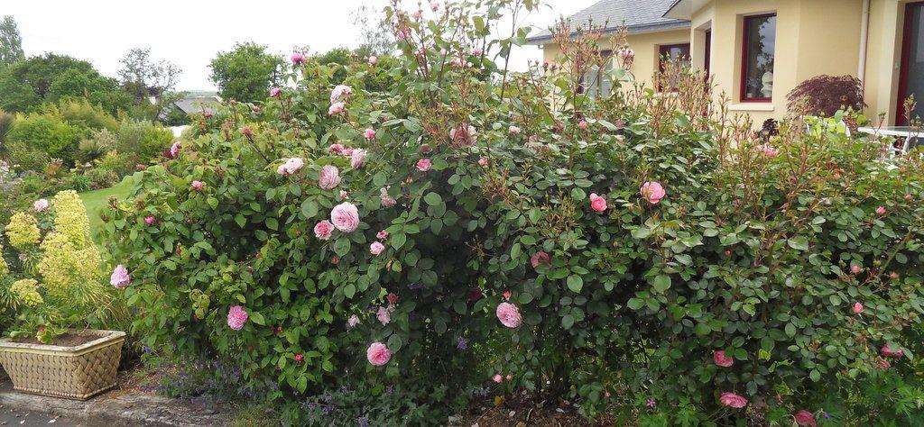 l'entrée du jardin , chemin bordé de nombreux rosiers traités en arbustifs...