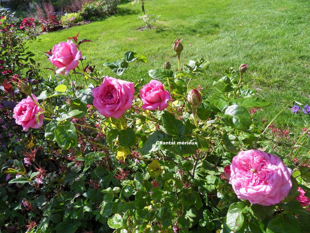 quelques roses en situation