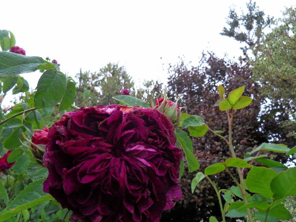 """l'entrée du jardin avec le rosier """" Charles de Mills """" et ses magnifiques fleurs parfumées"""