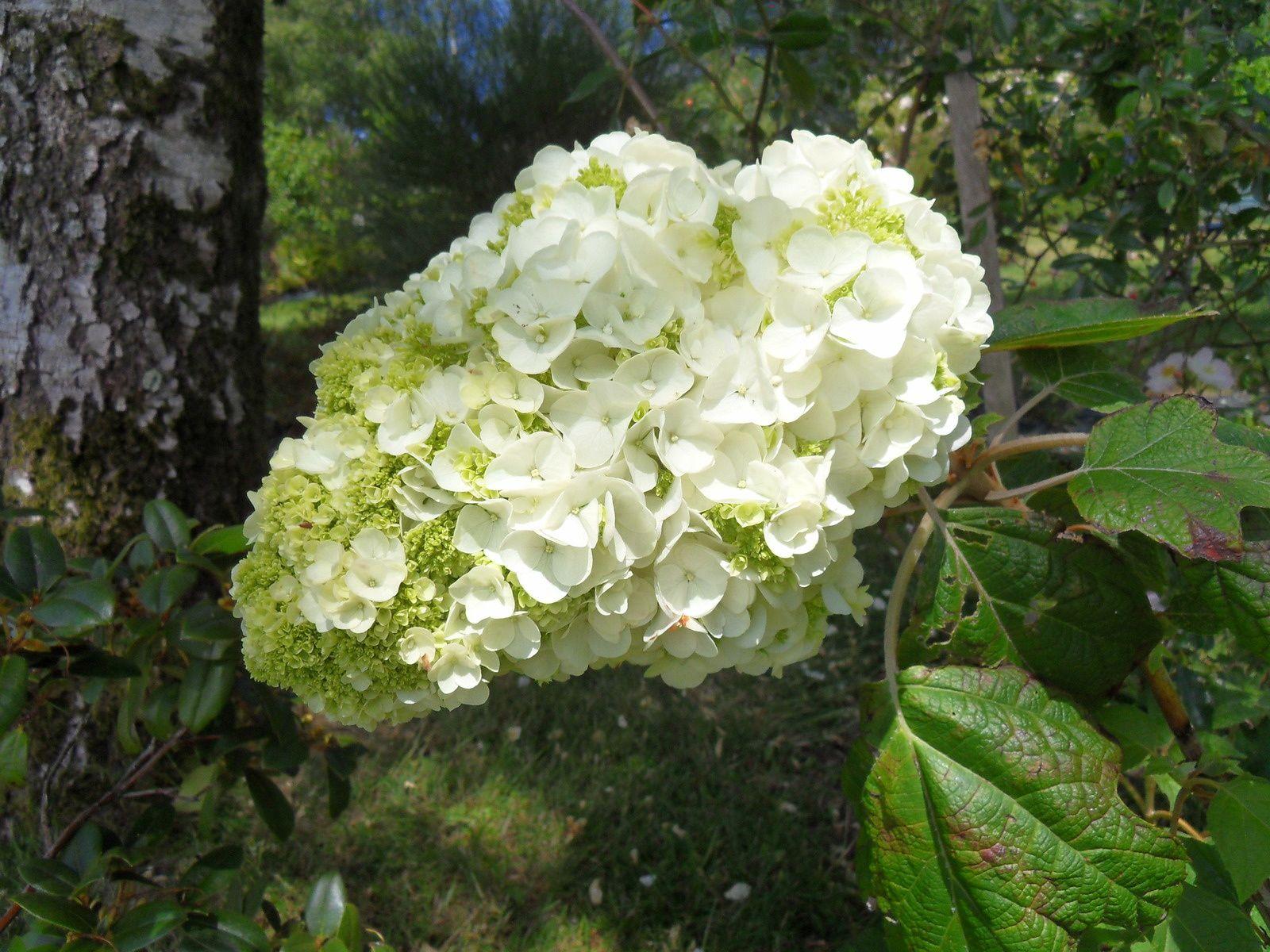 quercifolia harmony aux têtes énormes !!!!