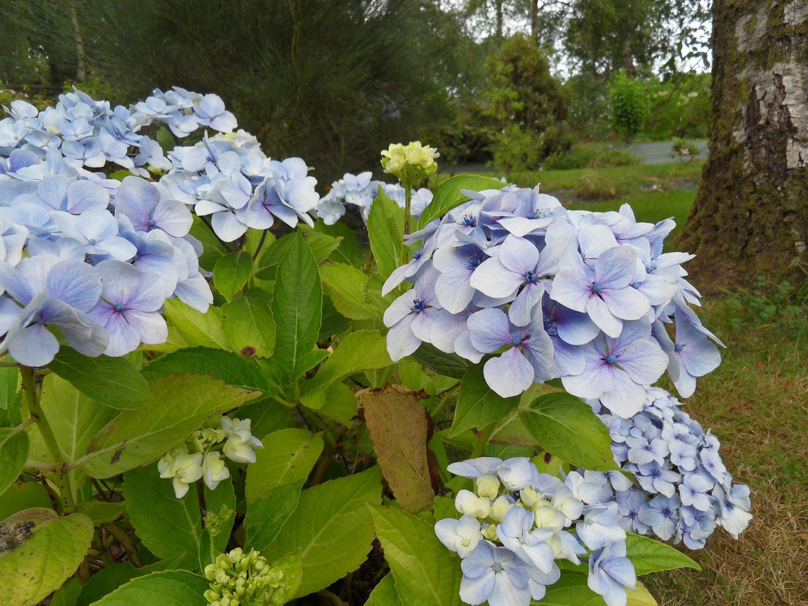 Les hortensias du jardin en 2014