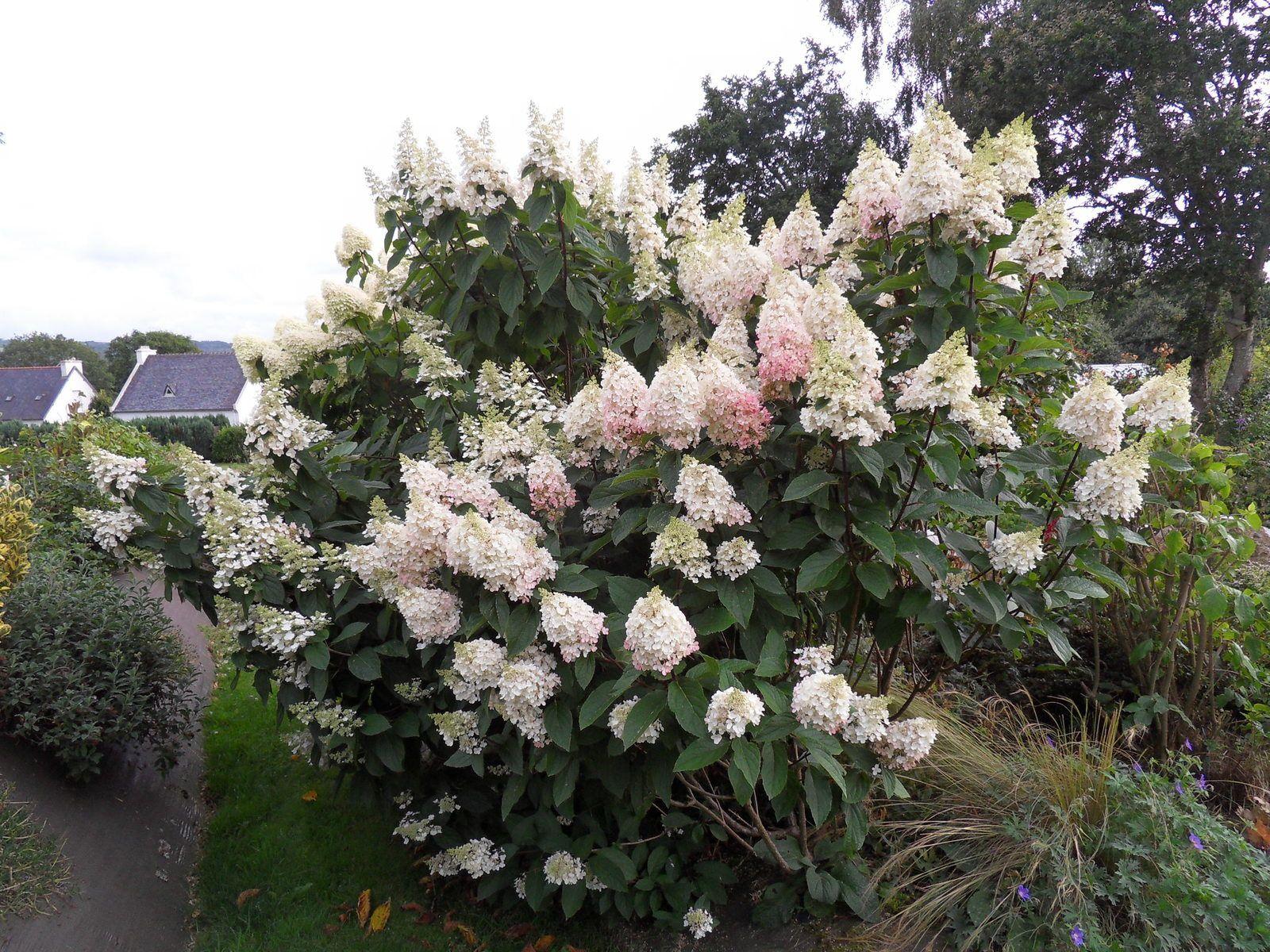 les paniculatas Kyushu  , pinky winky,vanille fraise , limelight , phantom....