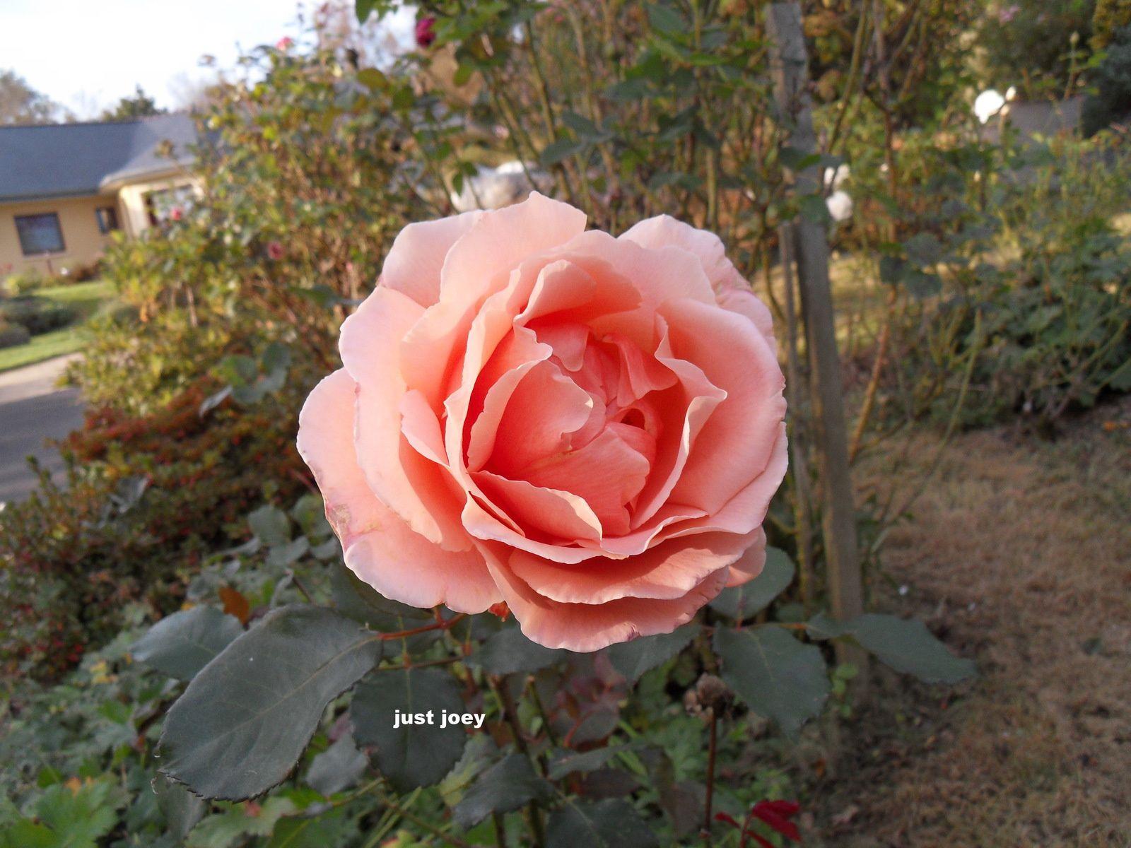 de nombreux rosiers donnent au jardin un petit air de fête ....