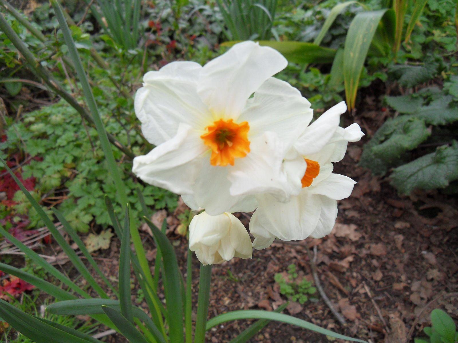les 1eres fleurs sont enfin là et ces narcisses nous annoncent le printemps !!! les tâches jaunes sont présentes aux 4 coins du jardin ....