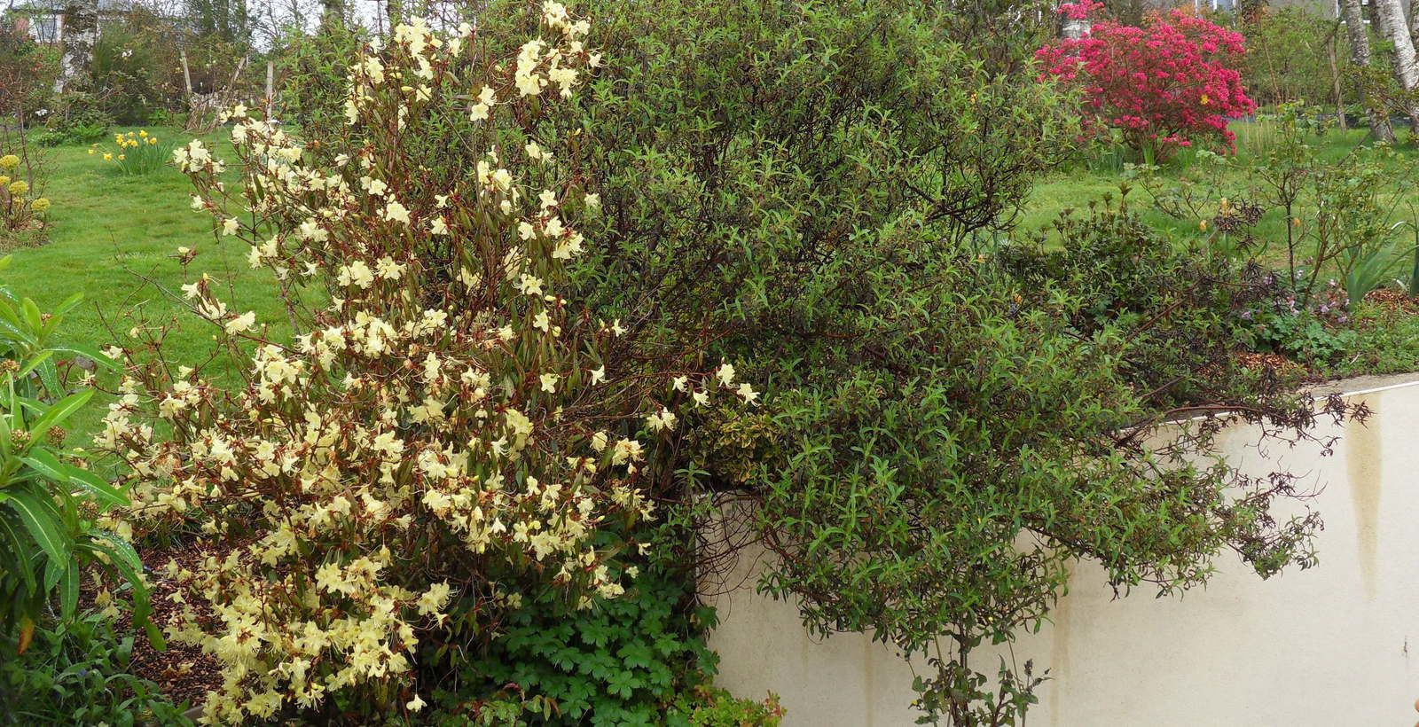 5 variétés de rhodos en fleurs en ce mois de mars ...