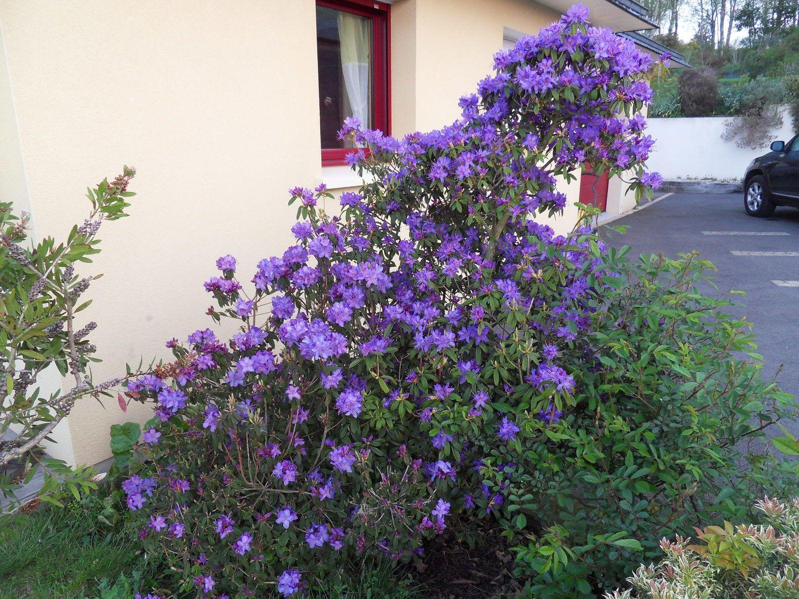 2 variétés de rhodo augustinii