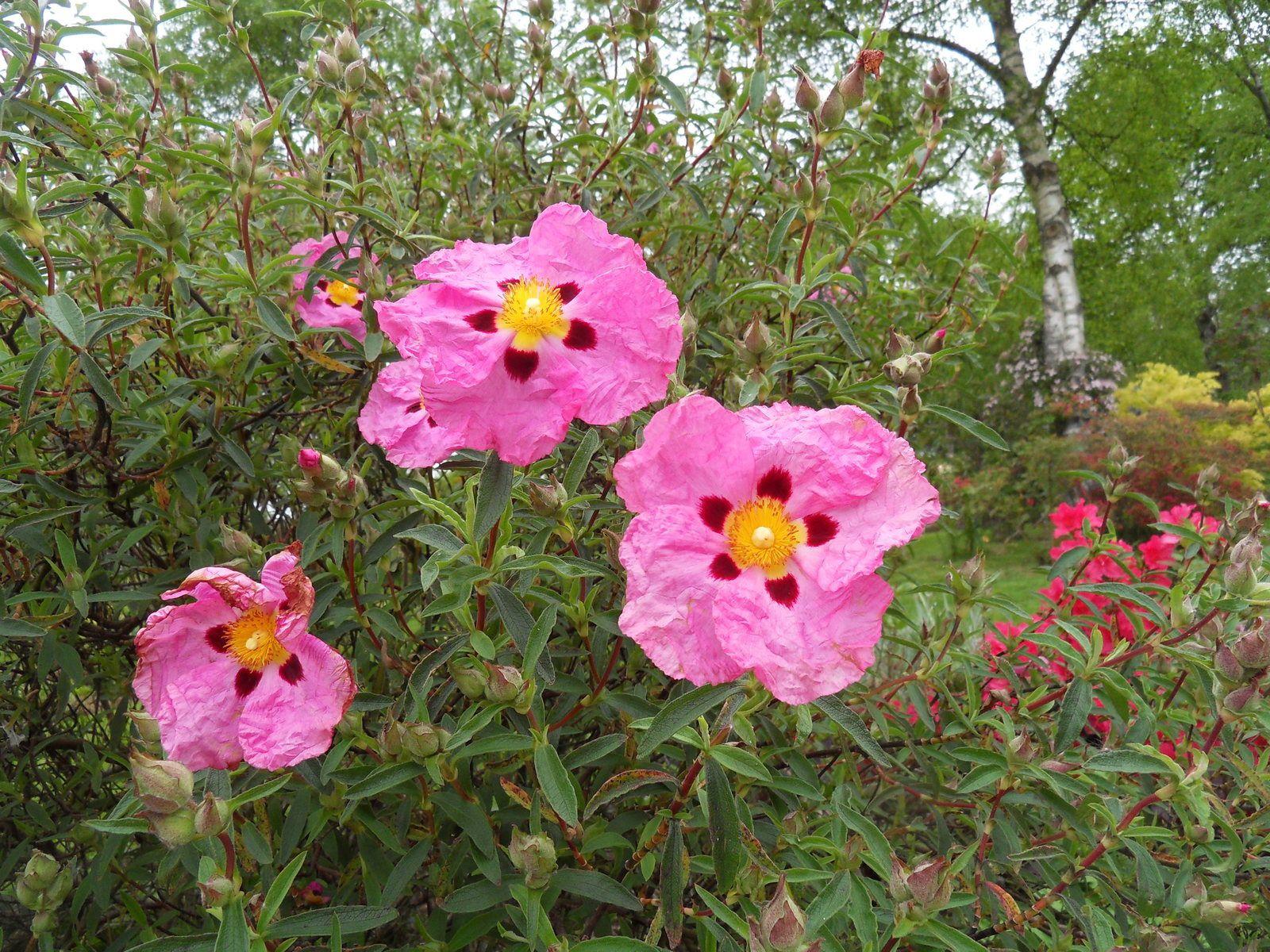 MAI , le mois des belles floraisons !!!!