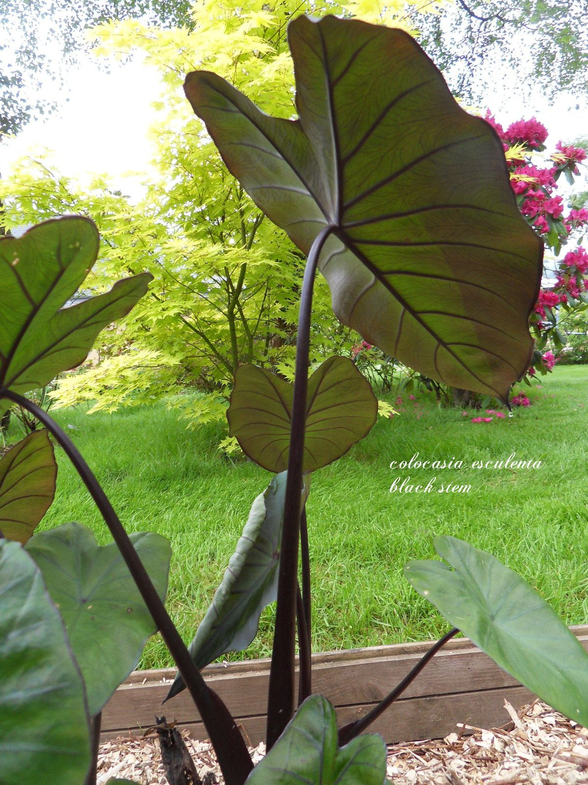 le colocasia esculenta black stem !!!!
