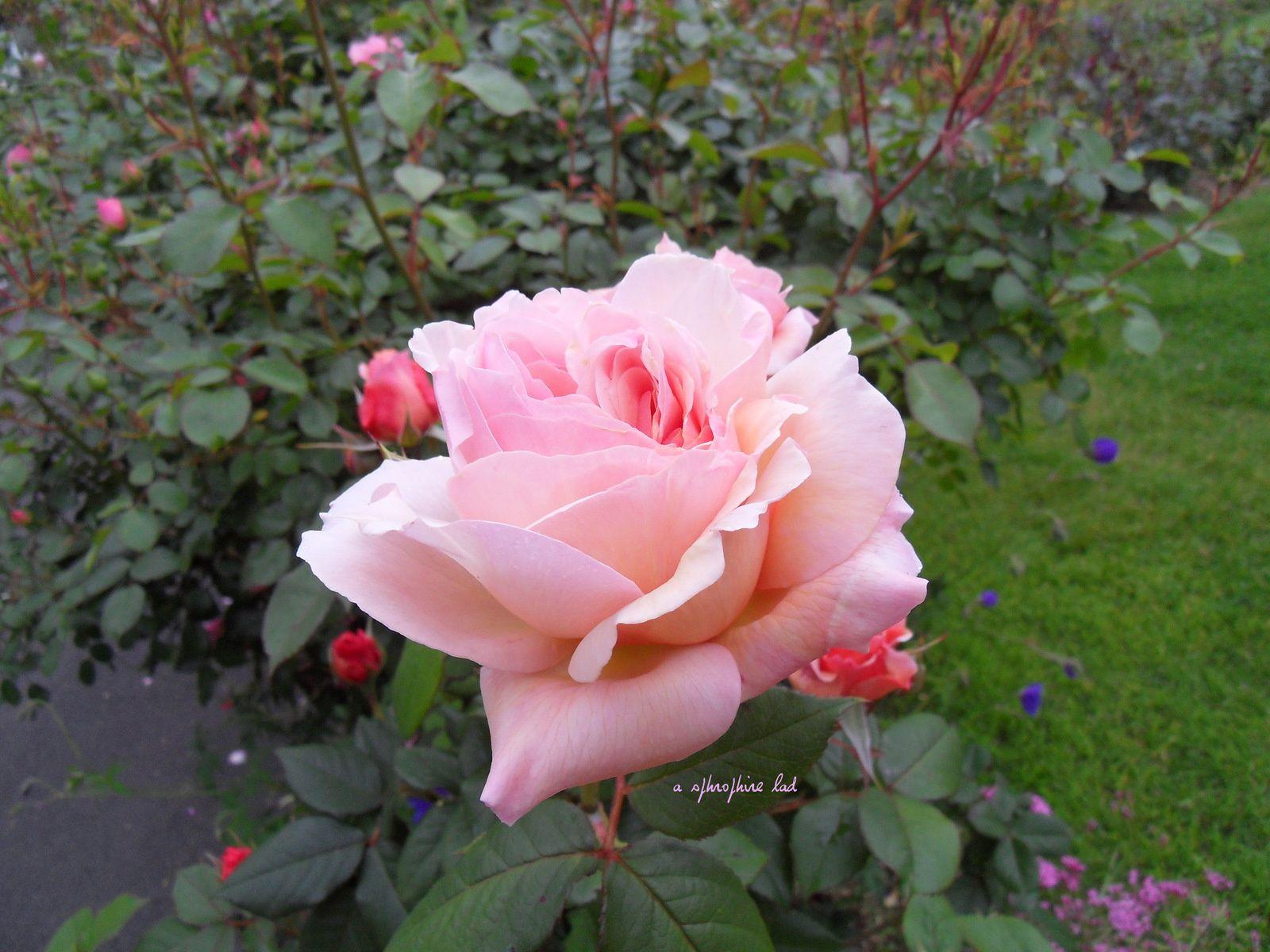 les rosiers du jardin en 2015