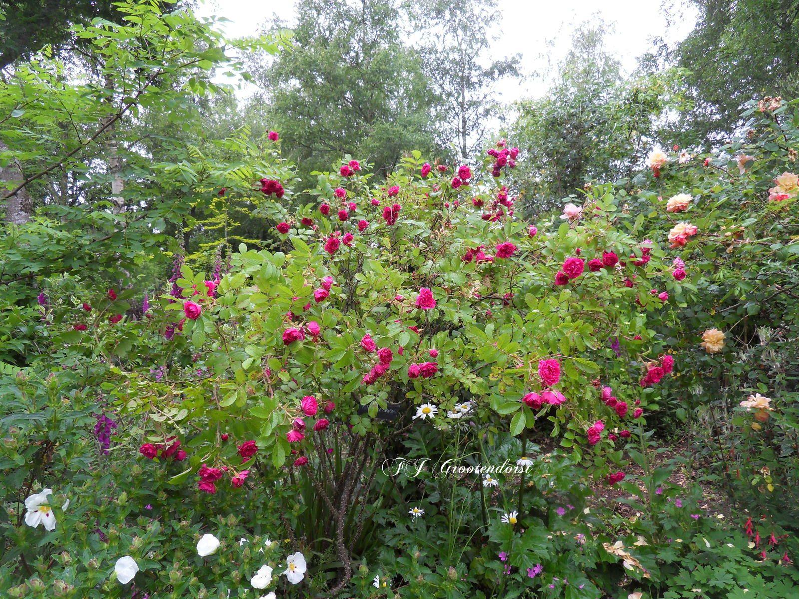 scènes de jardin avec mes roses !!!